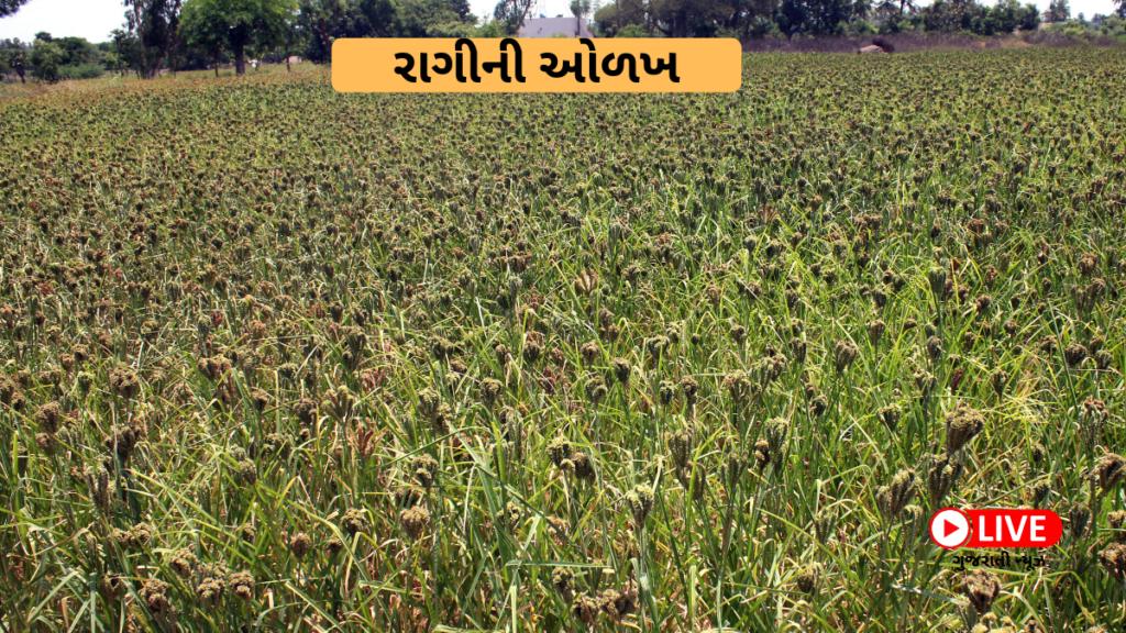 રાગીની ઓળખ Ragi In Gujarati રાગી શું છે અને તેના ફાયદા રાગી ની ખેતી, રાગી ના ફાયદા, રાગી નો લોટ, રાગી ની વાનગી, રાગી નો લોટ એટલે શું, રાગી અનાજ, રાગીની, રાગી ની ખેતી ક્યાં થાય છે, રાગી ખાવા થી શું ફાયદા થાય, રાગી કેવી રીતે ઓળખવી, રાગી ની વાનગીઓ, રાગી નું શાક, રાગી ક્યાં ઉગે છે, રાગી નું બીજું નામ, રાગી ના ફાયદા ગુજરાતી માં, રાગી ગુજરાતી માં